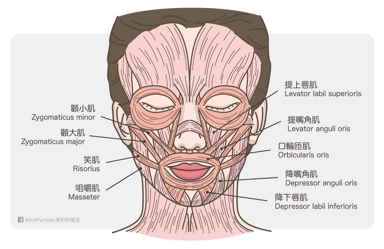 與法令紋相關的臉部肌肉圖