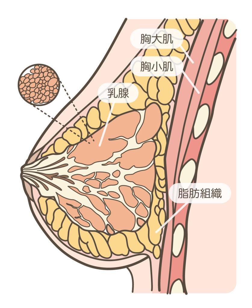 胸部按摩_胸部解剖圖