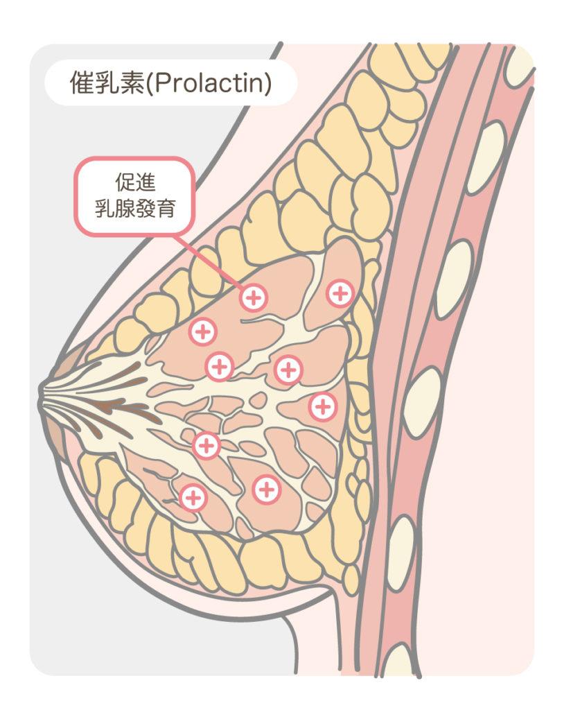 胸部解剖_催乳素