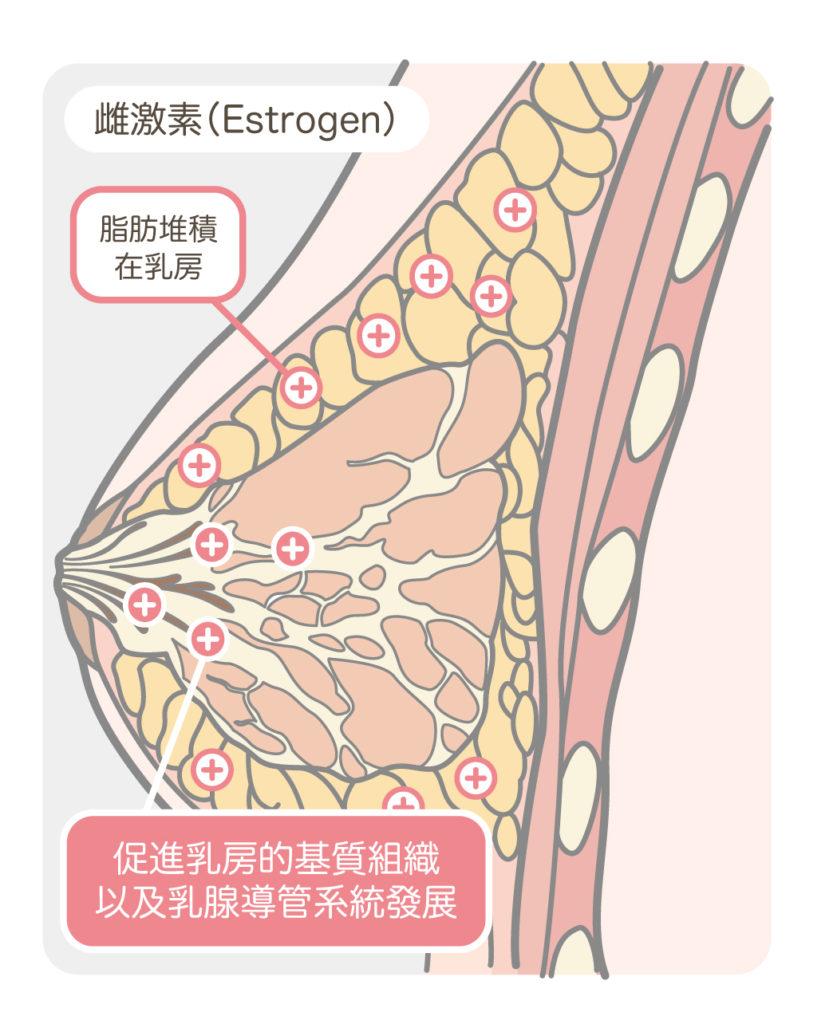 胸部解剖_雌激素