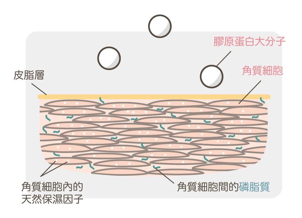 膠原蛋白如何被吸收