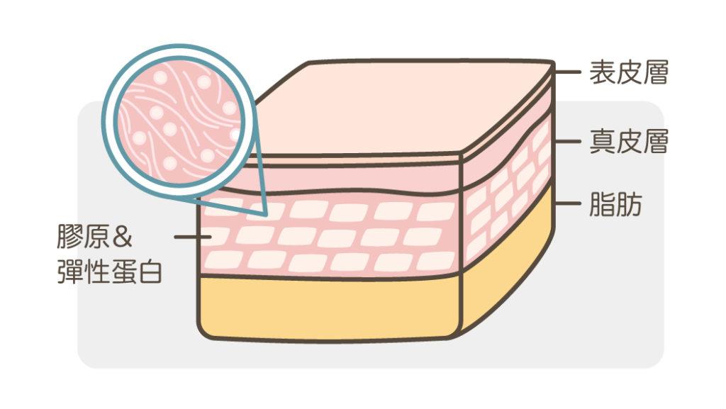 膠原蛋白_支撐皮膚