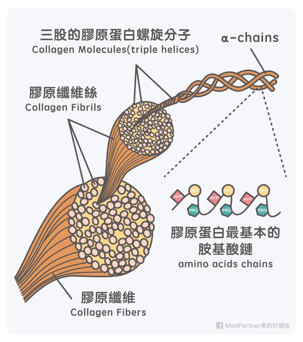 膠原蛋白_組成結構