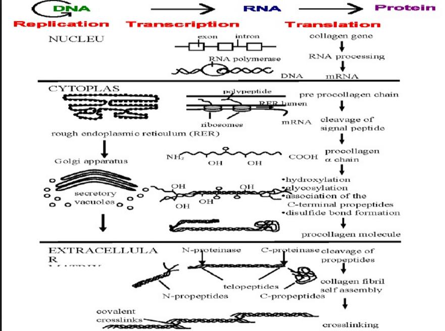 膠原蛋白合成機制