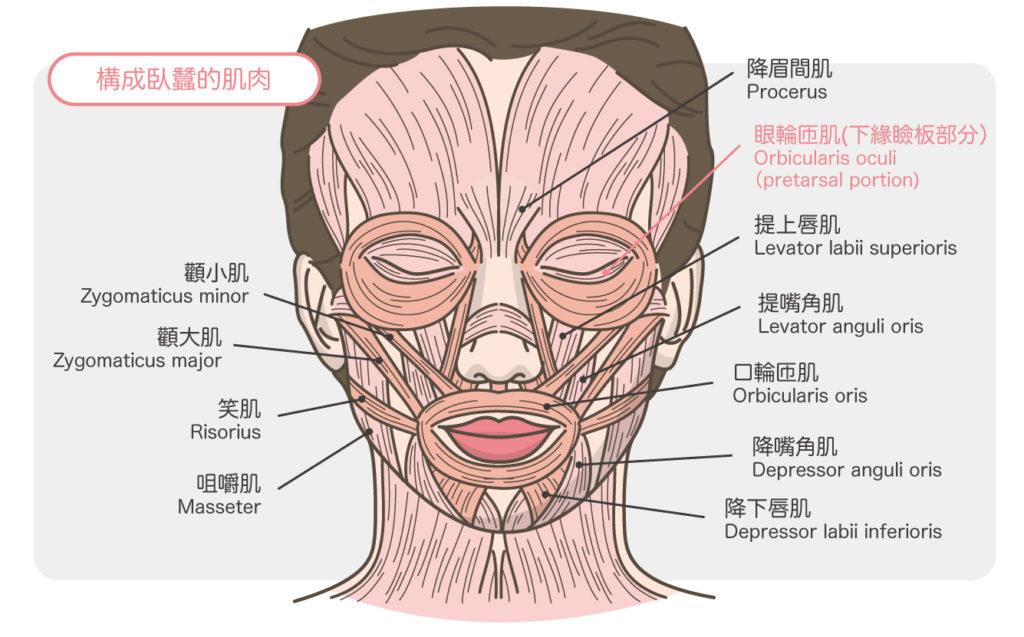 眼袋_臉部肌肉解剖