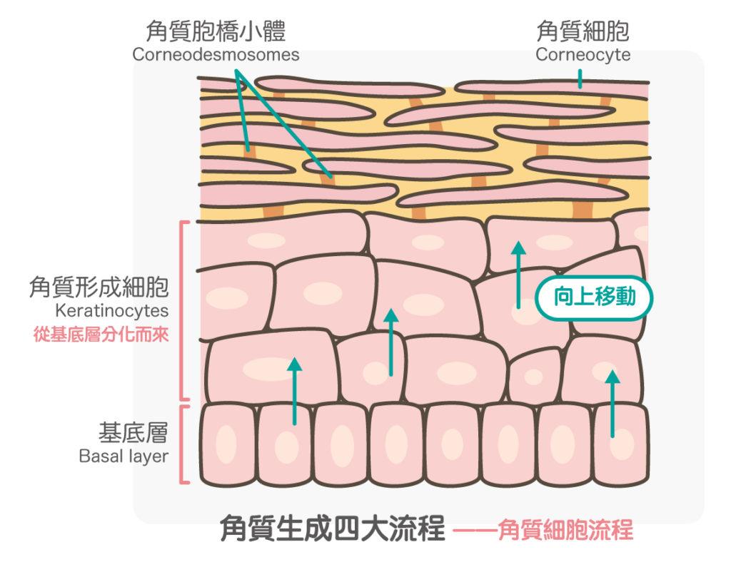 角質細胞流程