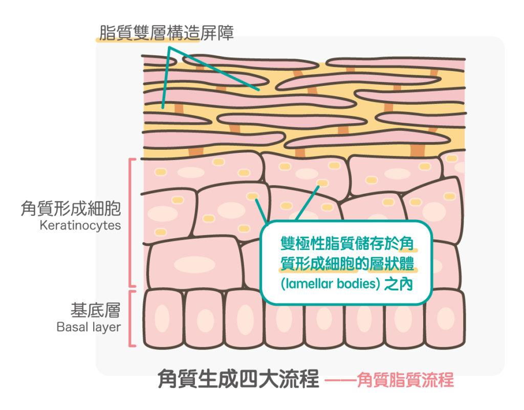 角質脂質流程