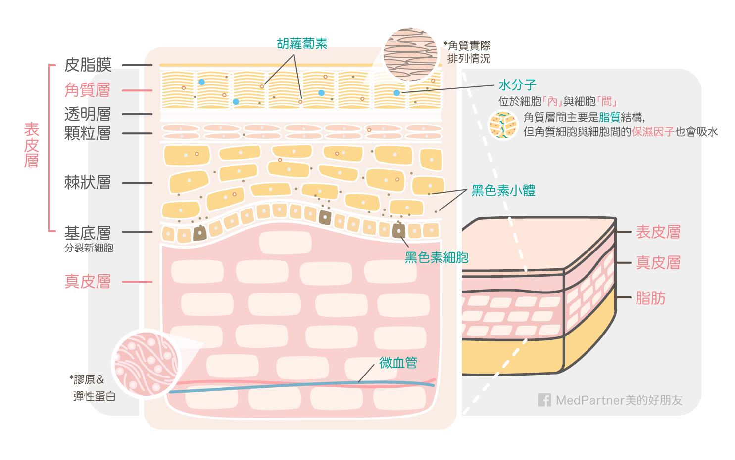 美白part1_皮膚解剖圖