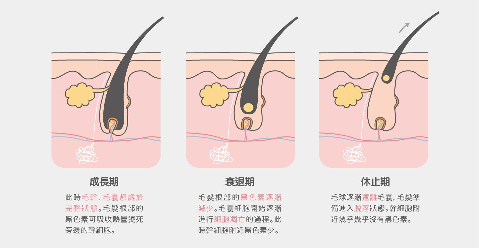 毛囊生長週期