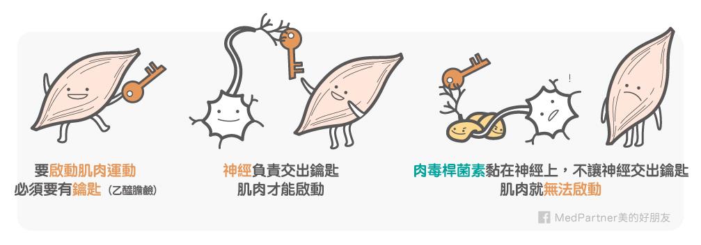 肉毒桿菌素作用機制簡圖
