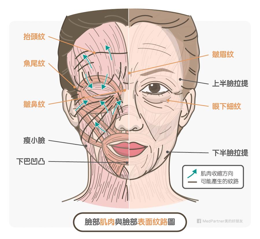臉部肌肉與表面紋路