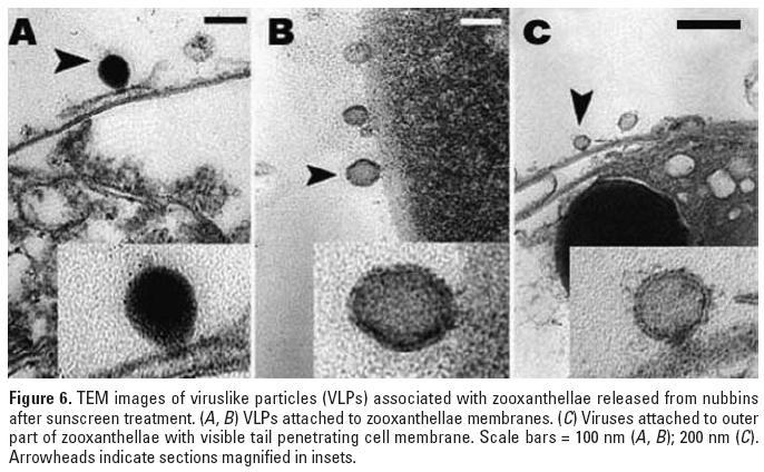 病毒在共生藻細胞膜外