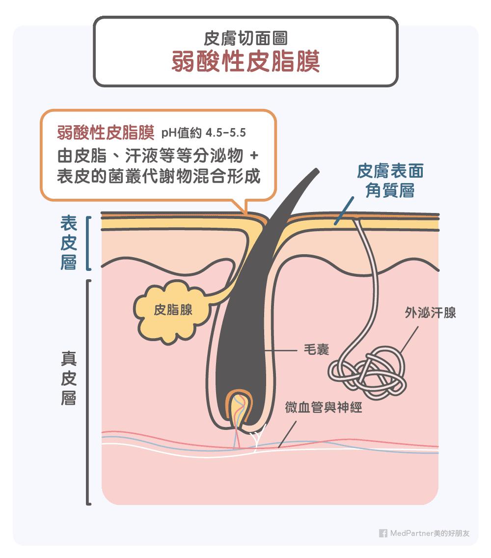 皮膚切面圖與弱酸性皮脂膜介紹