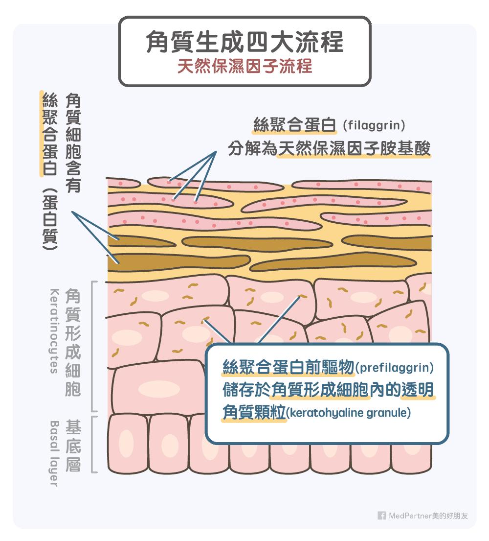 角質生成四大流程-天然保濕因子流程