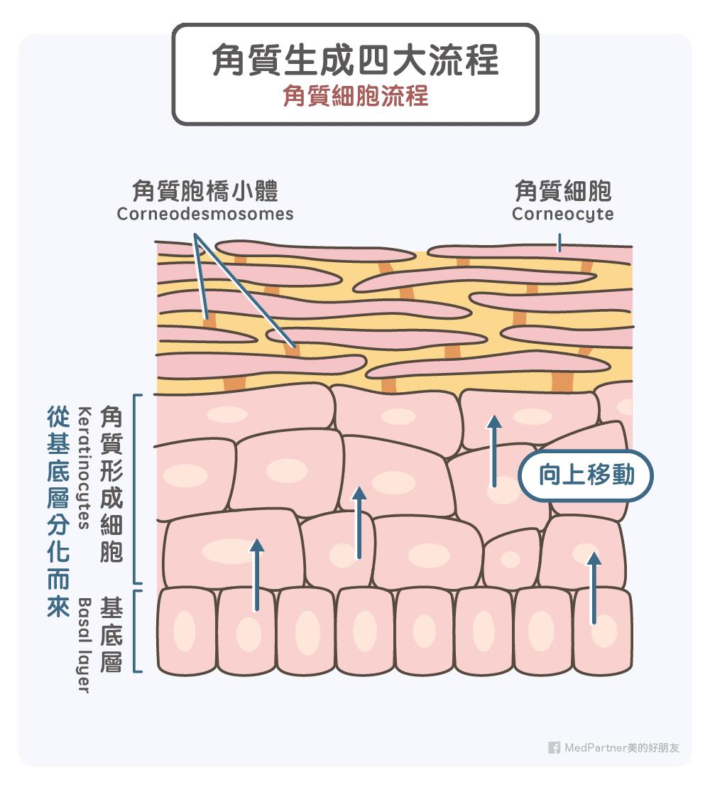 角質生成四大流程-角質細胞流程