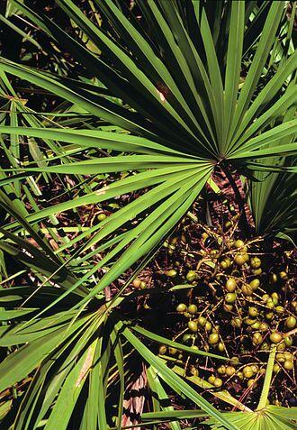 鋸棕櫚圖片
