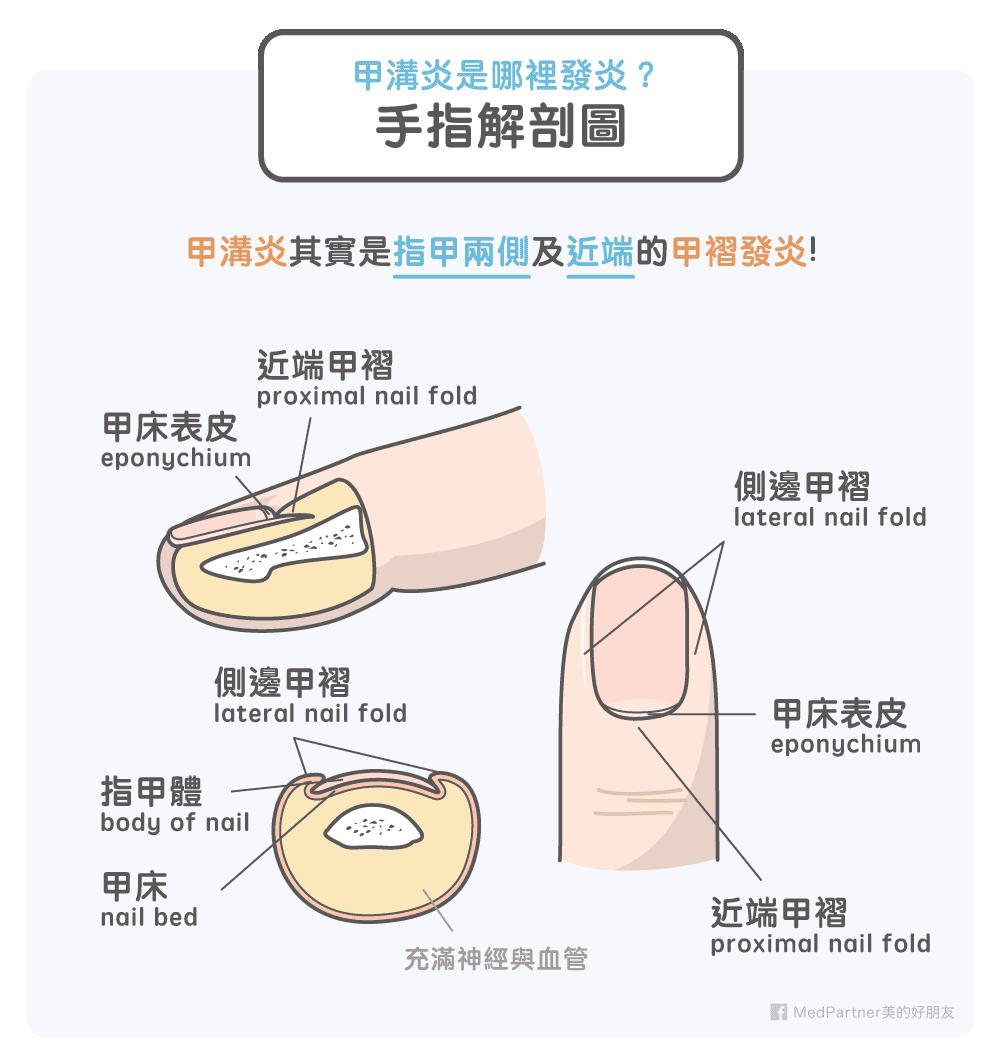 手指解剖圖