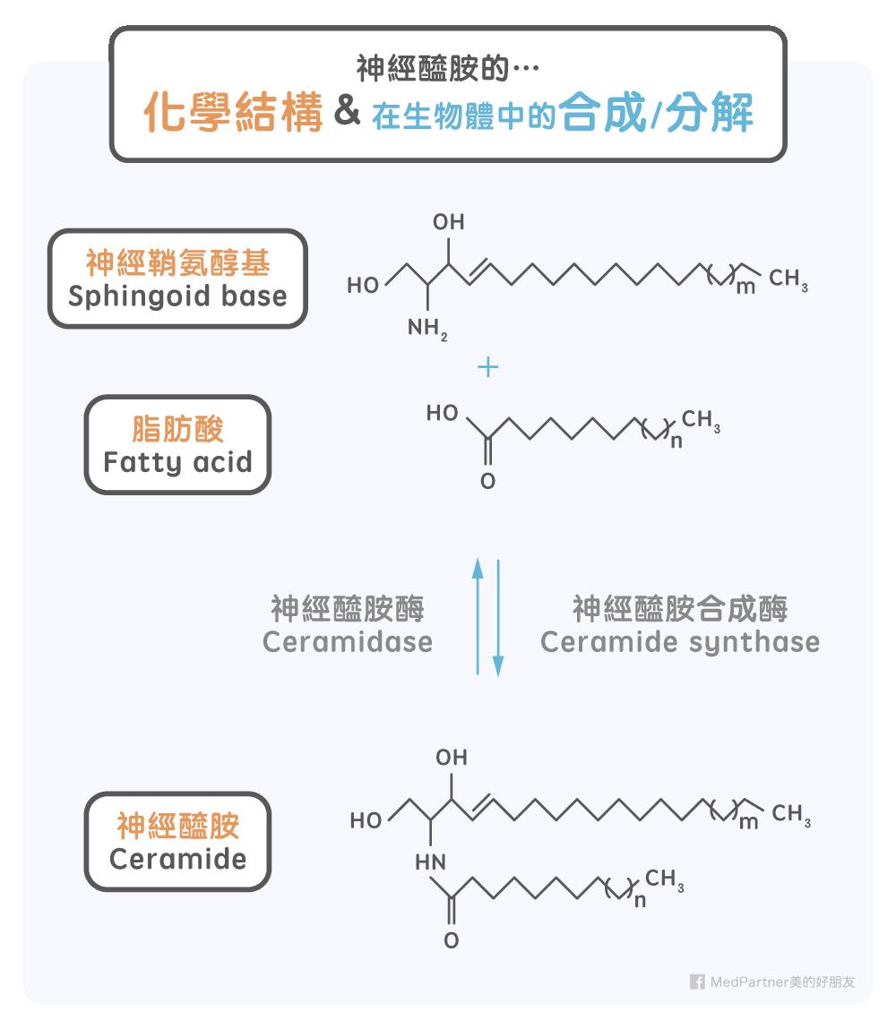 神經醯胺的化學結構以及在生物體中的合成與分解