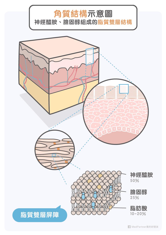 角質結構與神經醯胺、膽固醇的脂質雙層結構
