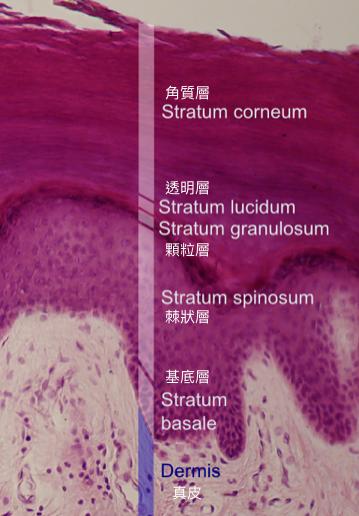 人類表皮層的結構。維他命 D 在基底層與棘狀層合成,黑色素則是由位在基底層的黑色素細胞合成,並散佈到表皮層裡