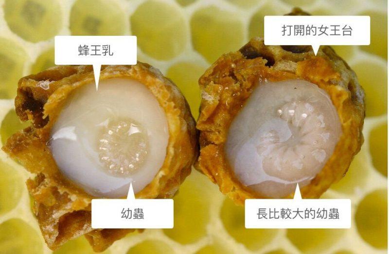 女王台內的幼蟲,白白的液狀物體就是蜂王漿