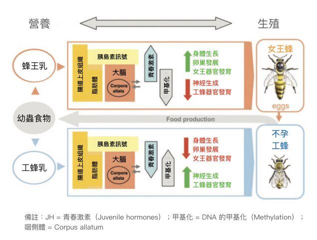 蜜蜂生長發育過程中,營養、大腦與生殖的關係。