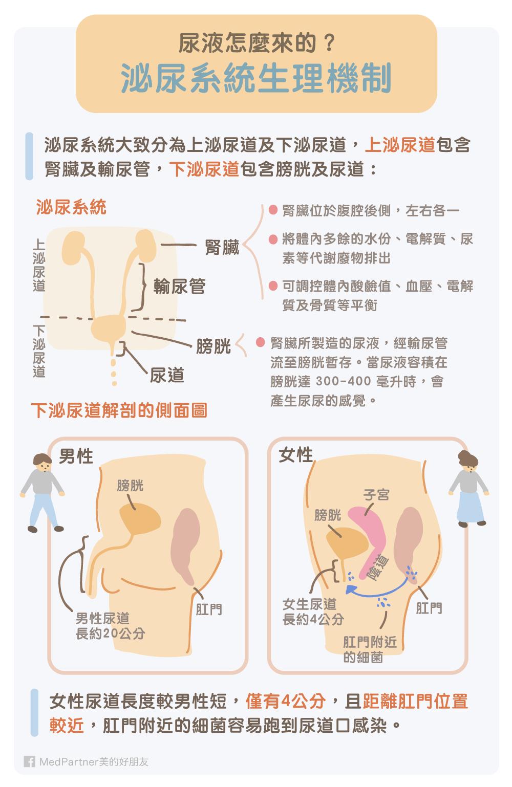 泌尿系統生理機制