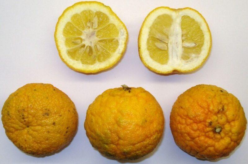 苦橙示意圖