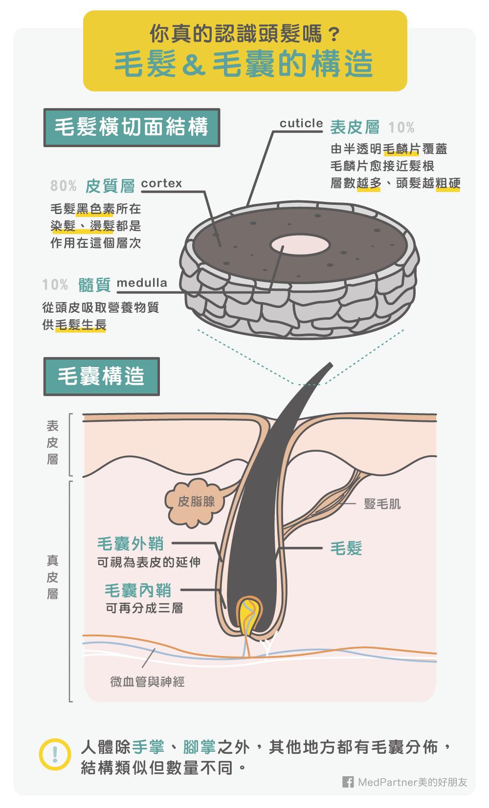 毛髮以及毛囊的構造