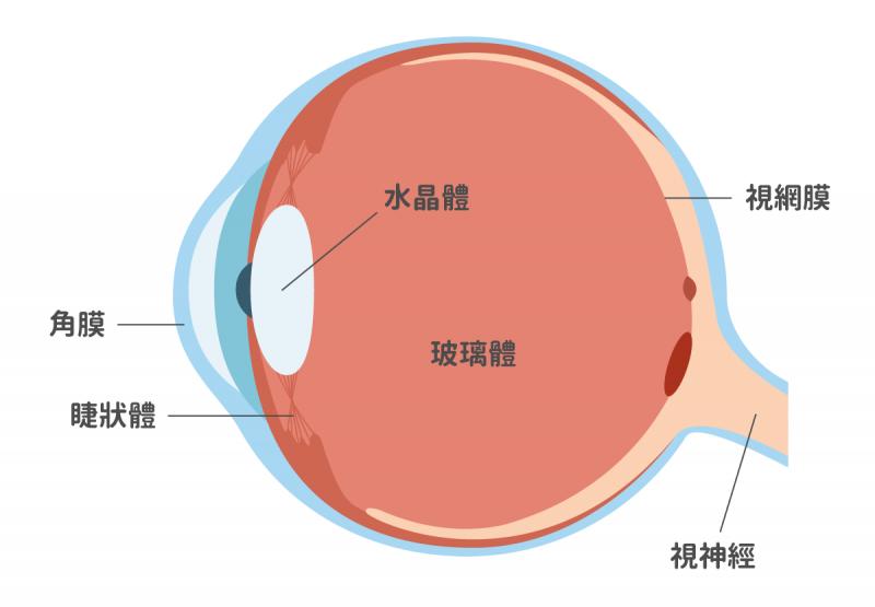 飛蚊症前的正常眼球構造